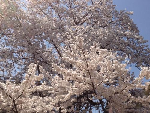 桜、満開♪01
